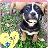 Adopt A Pet :: Onyx - Marlton, NJ