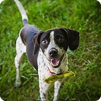 Beagle/Terrier (Unknown Type, Medium) Mix Dog for adoption in Newport, Kentucky - Boomer