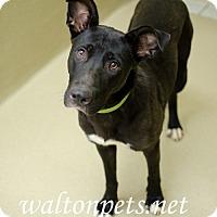 Adopt A Pet :: Harli - Lawrenceville, GA