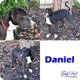 Labrador Retriever Mix Dog for adoption in Southington, Connecticut - Daniel