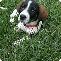 Adopt A Pet :: Fancy - New Oxford, PA