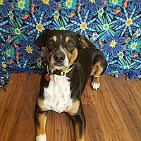 Adopt A Pet :: Ernie - Colorado Springs, CO