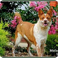 Adopt A Pet :: Sable - Dixon, KY