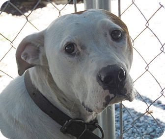Pit Bull Terrier Mix Dog for adoption in Henderson, North Carolina - Chase