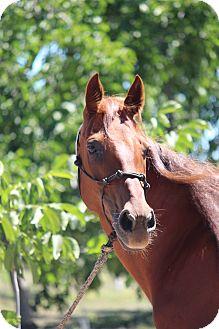 Quarterhorse Mix for adoption in Oakdale, California - Paige