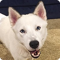 Siberian Husky Mix Dog for adoption in Dallas, Texas - Regis