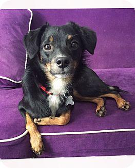 Spaniel (Unknown Type) Mix Puppy for adoption in San Diego, California - Shadow