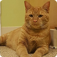 Domestic Shorthair Cat for adoption in Circleville, Ohio - Peanut