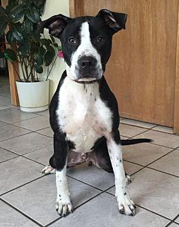 American Pit Bull Terrier/Labrador Retriever Mix Dog for adoption in Fulton, Missouri - Arrow-Nebraska-