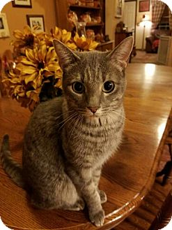 Domestic Shorthair Cat for adoption in Surprise, Arizona - Stormy