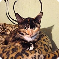 Adopt A Pet :: Napolitan - Bridgeton, MO