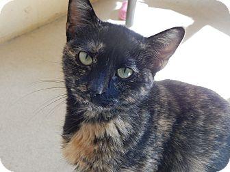 Domestic Shorthair Cat for adoption in Chula Vista, California - Euphie