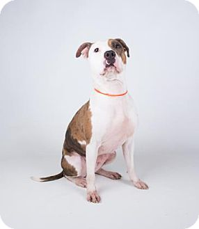 American Pit Bull Terrier/Catahoula Leopard Dog Mix Dog for adoption in Decatur, Georgia - Chantilly