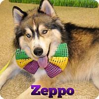 Adopt A Pet :: Zeppo Barx - Carrollton, TX