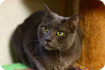 Domestic Shorthair Cat for adoption in Lombard, Illinois - Reed Richards