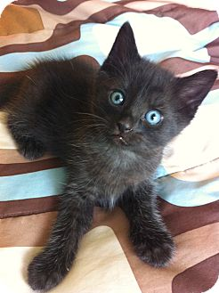 Domestic Shorthair Kitten for adoption in Xenia, Ohio - Trey