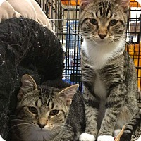 Adopt A Pet :: Sahara - West Lafayette, IN