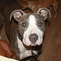 Pit Bull Terrier Mix Dog for adoption in Las Vegas, Nevada - Chloe