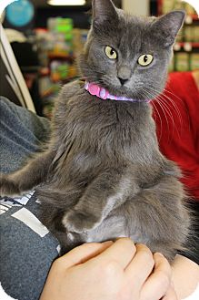 Domestic Mediumhair Cat for adoption in Wichita Falls, Texas - Cleo