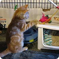 Adopt A Pet :: Tangerine - Geneseo, IL