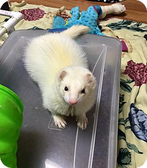 Ferret for adoption in Fawn Grove, Pennsylvania - Yang