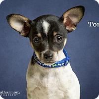Adopt A Pet :: Tony - Chandler, AZ