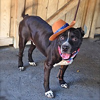 Labrador Retriever/Boxer Mix Dog for adoption in Los Angeles, California - Handsome Noodles-VIDEO