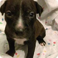 Adopt A Pet :: Ares (god of chaotic war) - Sacramento, CA