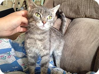 Domestic Shorthair Kitten for adoption in Ephrata, Pennsylvania - Liberty aka Libby