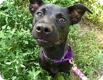Labrador Retriever Mix Dog for adoption in Wilmington, Delaware - Bailey
