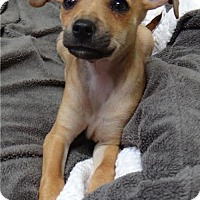 Adopt A Pet :: Piper - Seal Beach, CA