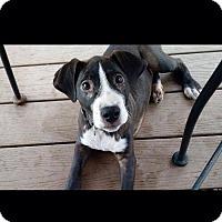 Adopt A Pet :: Darla - Sinking Spring, PA