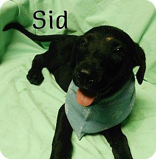 Border Collie/Labrador Retriever Mix Puppy for adoption in Burlington, Vermont - Sid