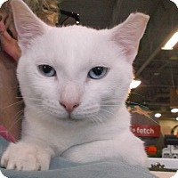 Domestic Shorthair Cat for adoption in Columbus, Ohio - Dalton