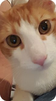 American Shorthair Cat for adoption in Hallandale, Florida - Arty