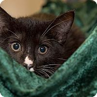 Adopt A Pet :: Amadeus - San Juan Capistrano, CA