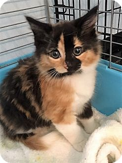 Domestic Shorthair Kitten for adoption in Dumfries, Virginia - Phoenix