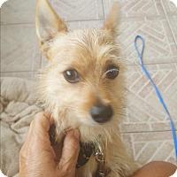 Adopt A Pet :: Bear Bear - Palm Bay, FL