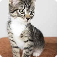 Domestic Shorthair Kitten for adoption in St. Louis, Missouri - Alabama