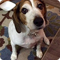 Beagle/Basset Hound Mix Dog for adoption in Palm Harbor, Florida - Peaches