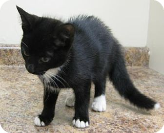 Domestic Shorthair Kitten for adoption in Gary, Indiana - Tip Toe