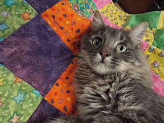 Domestic Mediumhair Cat for adoption in Pearland, Texas - KING
