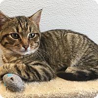 Adopt A Pet :: Tigger - Joplin, MO