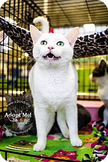 Domestic Shorthair Kitten for adoption in Mooresville, North Carolina - A..  Melina