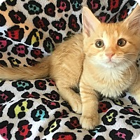 Adopt A Pet :: Lemon Meringue - Tampa, FL