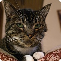 Domestic Shorthair Cat for adoption in Austintown, Ohio - Sarah