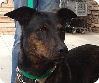 Doberman Pinscher/German Shepherd Dog Mix Dog for adoption in Phoenix, Arizona - Bailey