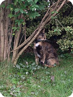 Domestic Shorthair Cat for adoption in Woodstock, Ontario - Athena
