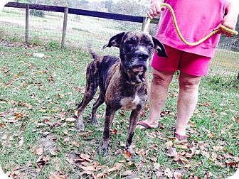 catahoula american bulldog mix brownie adopted dog ocala fl catahoula leopard dog 6521
