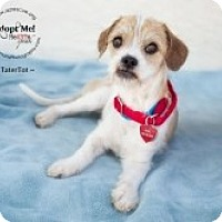 Adopt A Pet :: TaterTot - Phoenix, AZ